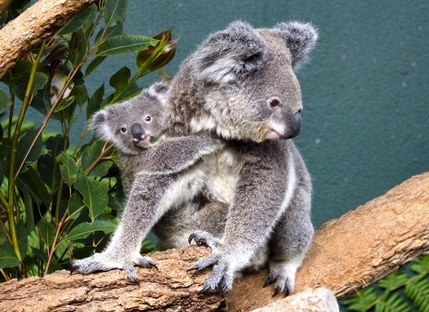 large_WILD_LIFE_Sydney_koala_1