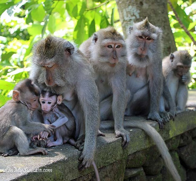 Monkey-family-with-babies-in-the-Sacred-Monkey-Forest