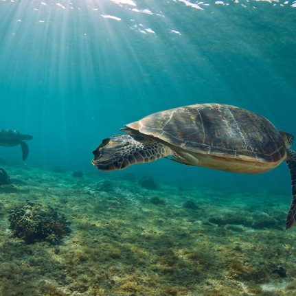 Turtles-in-the-shallows-1